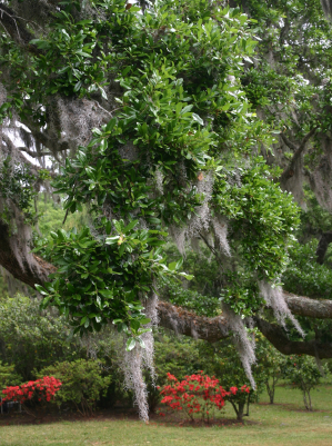 Charleston Sc Gardens Historic Gardens Of Charleston